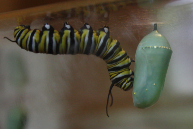 caterpillar inspecting a chrysalis
