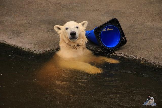 Eisbär Fiete im Zoo Rostock 05.09.2015  0137
