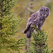 Great Gray Owl by TimmyGs Photos