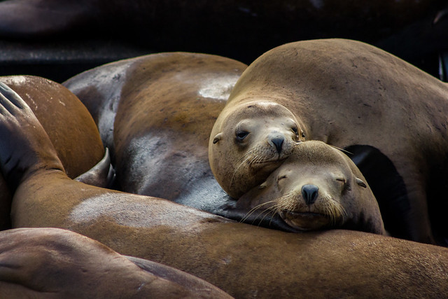 Sea lions snuggling