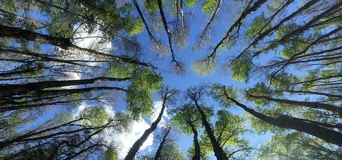 chile bosque robles pucón chilecentral regióndelaaraucanía trotando