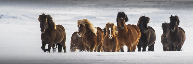 Horses in wintercoat