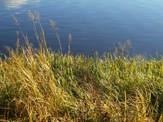 Niittynäkymiä syksyllä; järvikaislikkoa A 15.10.2015 Vanajavesi Hämeenlinna