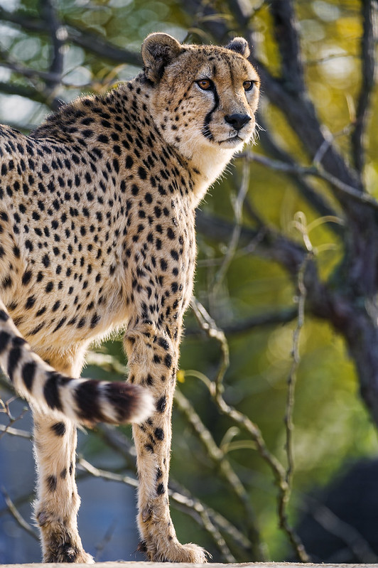Cool cheetah standing