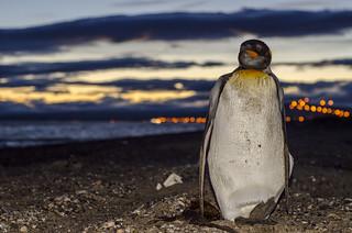 pingüino rey.