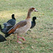 Small photo of Egyptian goose (Alopochen aegyptiacus)