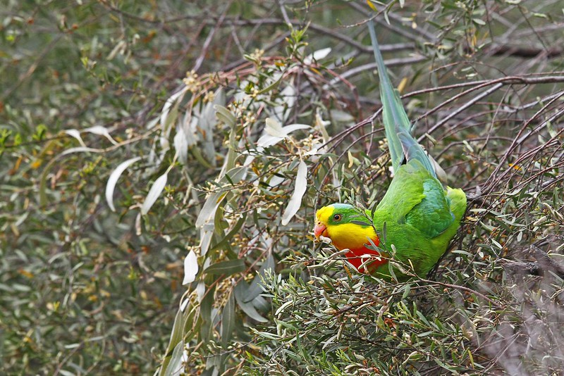 Superb Parrot (Male)  N Bartlett