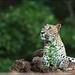 Sri Lankan leopard (Panthera pardus kotiya) @ Lunugamvehera National Park / Yala Block 5 by GaurikaW
