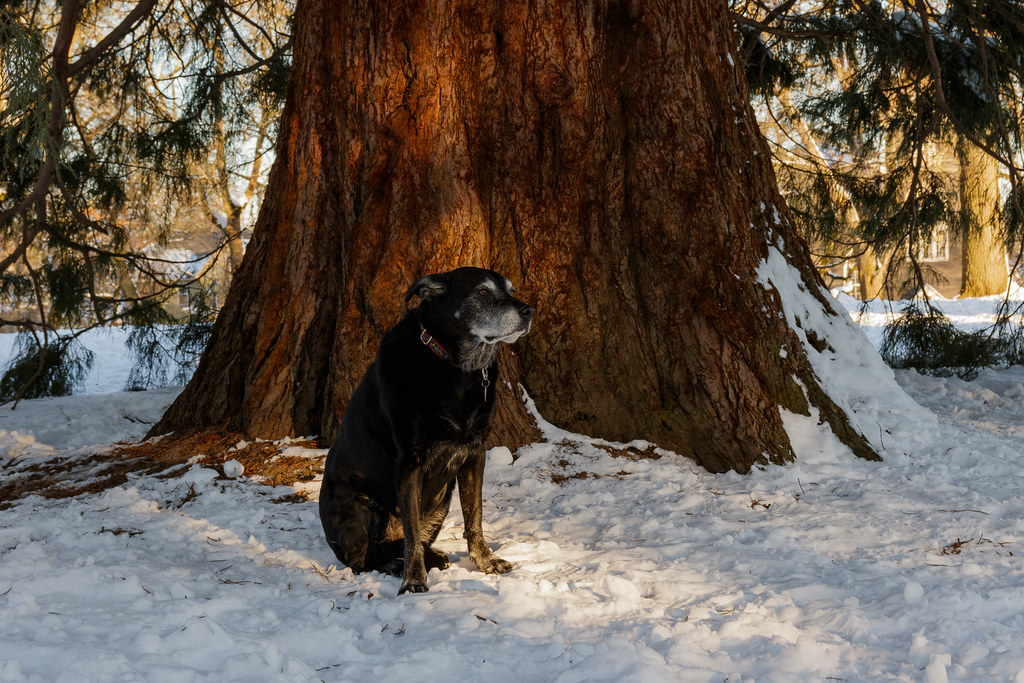 Our black lab Ellie sits in the snow beside a large tree in Irving Park in Portland, Oregon