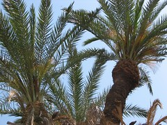 borassus flabellifer(0.0), coconut(0.0), produce(0.0), fruit(0.0), food(0.0), date palm(1.0), arecales(1.0), branch(1.0), tree(1.0), elaeis(1.0),