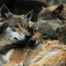 Wolves, awake by Caroline