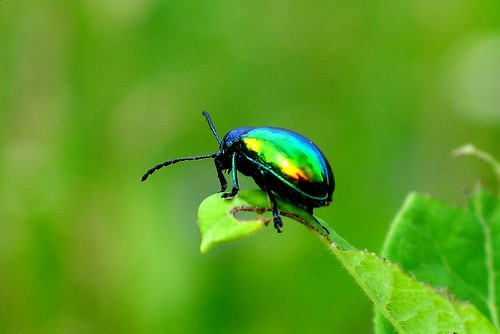 Bright  Green Beetle