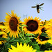 Sunflowerfields forever by _ Krystian PHOTOSynthesis (wild-thriving) _
