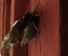 pollinator, animal, moth, moths and butterflies, wing, invertebrate, macro photography, fauna, close-up, bat,