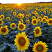sunflowers by ian_taylor_photography