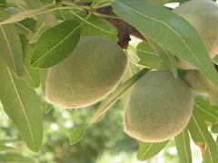 shrub(0.0), hardy kiwi(0.0), plant(0.0), common fig(0.0), produce(0.0), food(0.0), bitter orange(0.0), fruit tree(1.0), evergreen(1.0), tree(1.0), fruit(1.0),