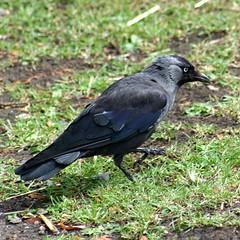 perching bird(0.0), blackbird(0.0), animal(1.0), wing(1.0), raven(1.0), crow(1.0), fauna(1.0), american crow(1.0), beak(1.0), bird(1.0), rook(1.0), wildlife(1.0),