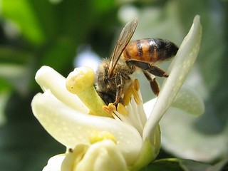 Bee on orange blossom by ykarelic