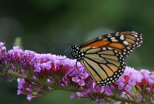 Monarch Butterfly by J.S. Hollands