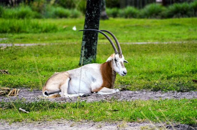 AKL Antelope sitting