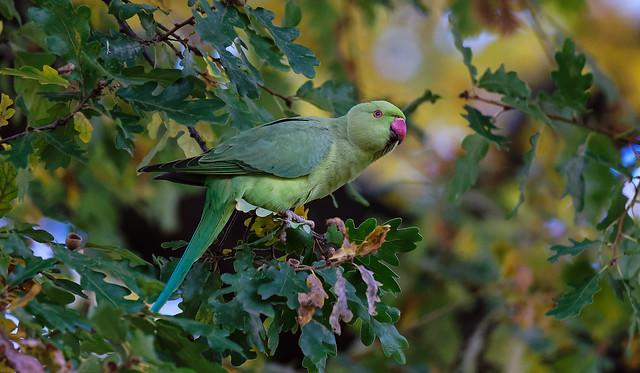a Rose Ringed Parakeet in Paris / Perruche à collier dans Paris