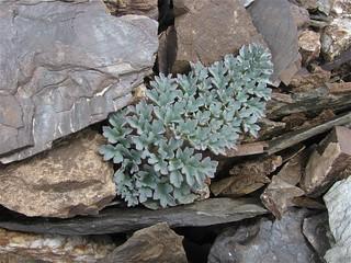 Cysticorydalis fedtschenkoana (Fumariaceae)