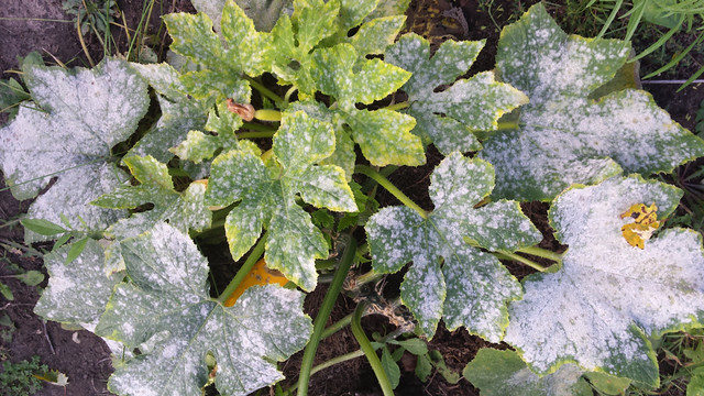 powdery mildew covering the leaves of a small squash plant