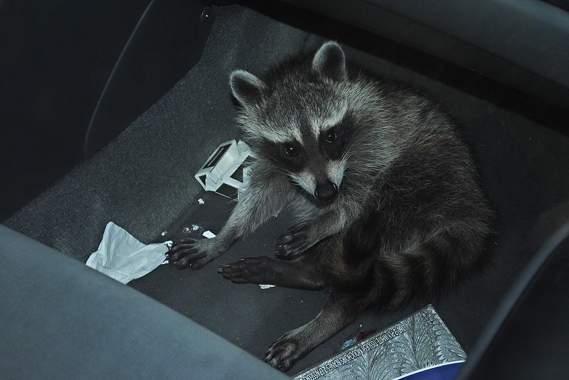 Raccon inside the car