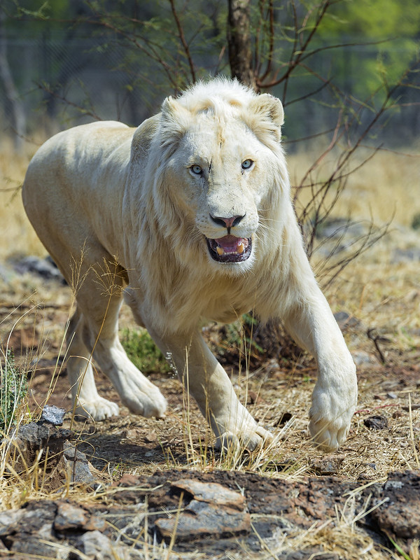 Happy running white lion