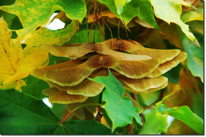 Norway maple fruit