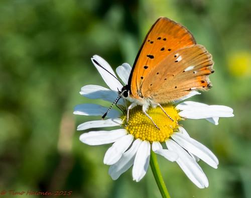 macro 100mm tokina mariposa farfalla sommerfugl vlinder papillion fjäril nikondx lycaena dukatenfeuerfalter liblikas scarcecopper tagfalter loistokultasiipi virgaureae d5200 päiväperhonen tokina100mmf28atxpro11macro dagfalter