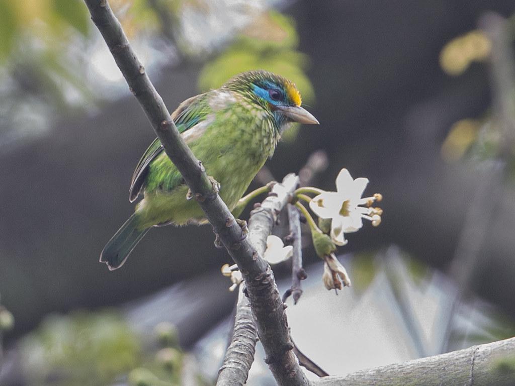 Yellow-fronted Barbet  Sri Lanka