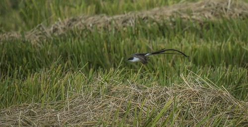 provinciadecoclã© panama provinciadecoclé forktailedflycatchers tyannussavana rice fields