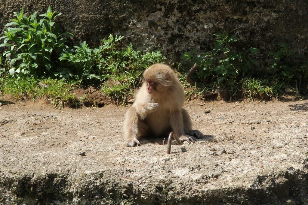 Jigokudani Monkey Park (9)