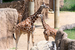 Giraffe Father and Son
