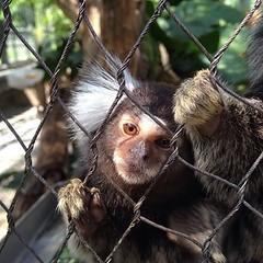 chimpanzee(0.0), sloth(0.0), tufted capuchin(0.0), capuchin monkey(0.0), white-headed capuchin(0.0), macaque(0.0), wildlife(0.0), animal(1.0), zoo(1.0), primate(1.0), fauna(1.0), marmoset(1.0), new world monkey(1.0),