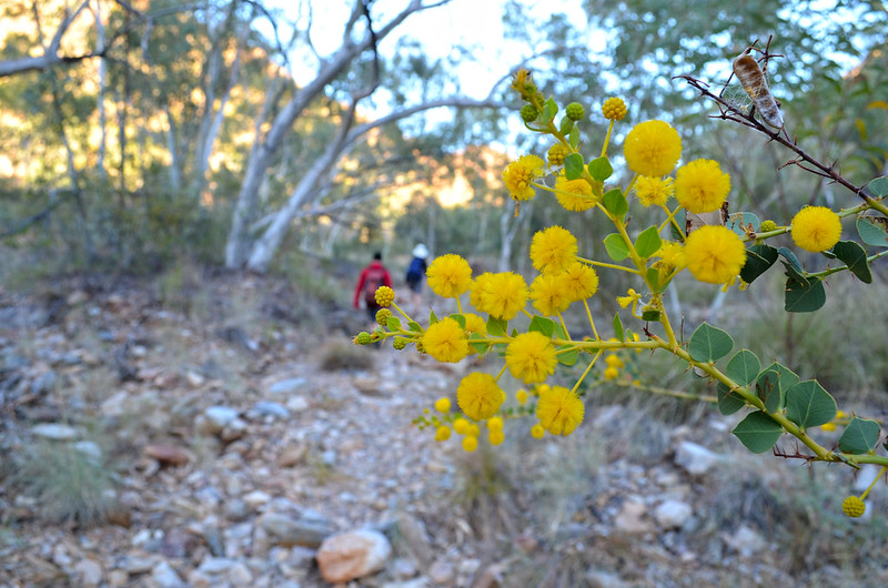 Wattle - Larapinta Trail