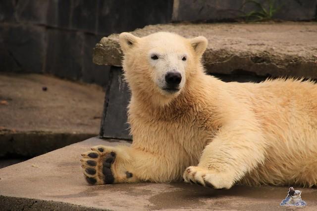 Eisbär Fiete im Zoo Rostock 19.09.2015 Teil 2  027