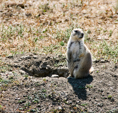 Teddy Roosevelt NPS, North Dakota, Prairie dog