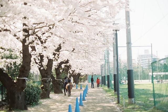 sakura spring 2015
