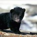 Small photo of American black bear (ursus americanus) cub