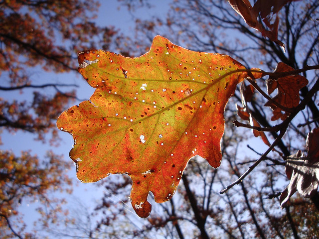 Oak leaf, autumn