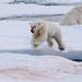 Jumping Polar Bear by fascinationwildlife