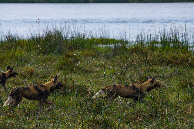 Wild dogs on the shore