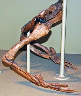 Basilosaurus sp. (fossil whale) (Eocene; Egypt) 4