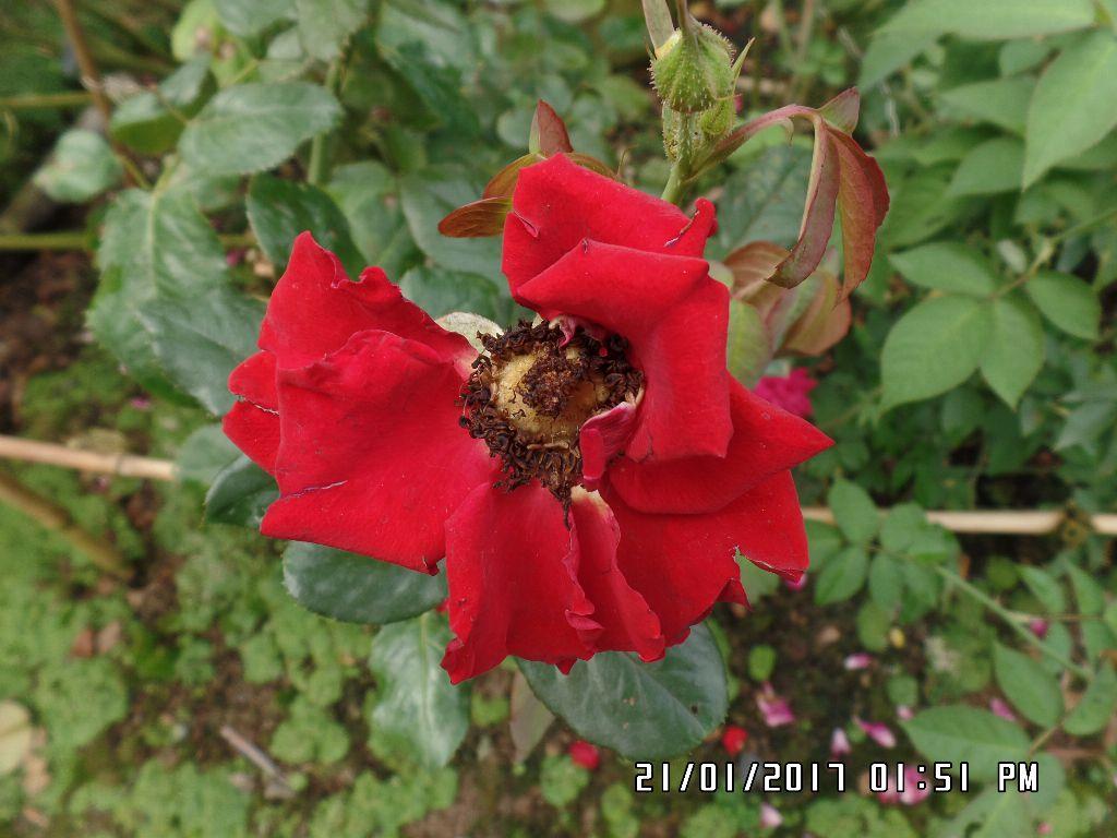 Hình dáng hoa hồng nhung Đà Lạt cây tôi mua trồng từ năm rồi, cánh hoa bè ra còn xấu hơn hồng Sa Đéc