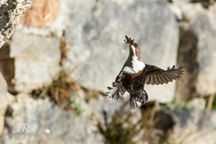 Cincle plongeur - Cinclus cinclus (Oiseaux d'Ariège) 25 février 2017