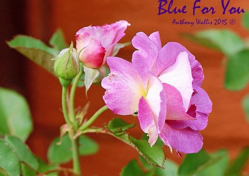 Blue For You rose thường xuyên cho hoa thành từng chùm nhỏ từ 3-5 bông hoa
