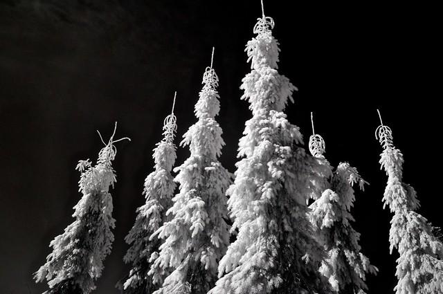 evergreen spires