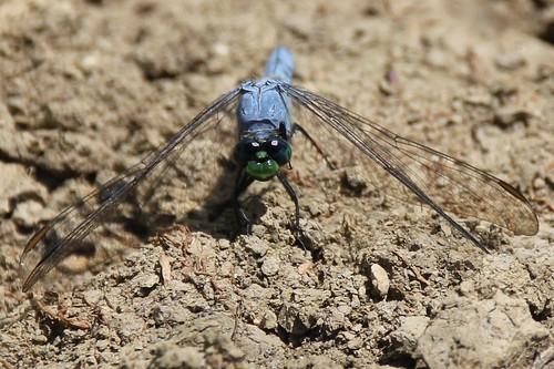 IMG_5898_Eastern_Pondhawk_Dragonfly
